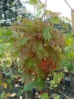 Photo mettant en évidence le feuillage de la plante Sorbus aucuparia 'Flanrock' AUTUMN SPIRE®.