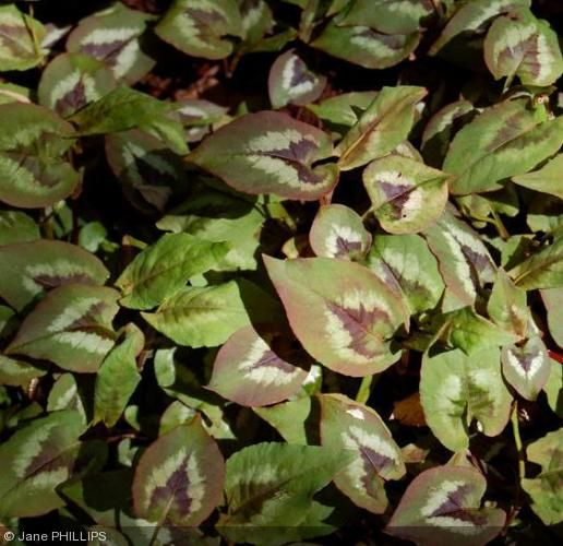 Persicaria nepalensis - Polygonaceae - Renouée, persicaire