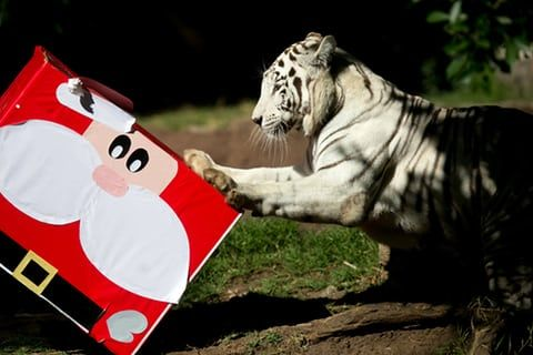 Romina the Bengal tiger rips open her gift at La Aurora zoo in Guatemala City, Guatemala. The festive parcel contains sweets, which she's allowed only on special occasions