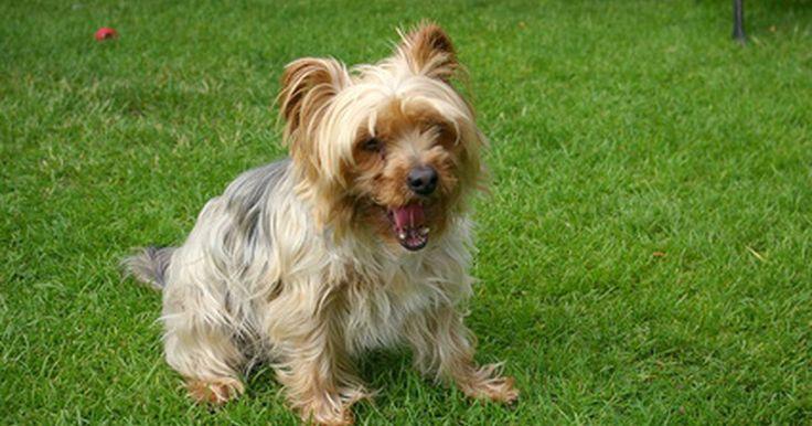 """¿Cuál es la diferencia entre un Yorkshire Terrier Teacup y un Yorkshire Terrier Toy?. La raza Yorkshire terrier comenzó en Gran Bretaña. Originalmente llamada """"broken-haired Scotch Terrier"""" (terrier escocés de pelo quebrado), la raza fue renombrada como Yorkshire terrier en 1870. Llegó a EE.UU. en esa década y el American Kennel Club (AKC) la admitió como parte del grupo toy en 1885. En 2009, los Yorkshire terriers tuvieron el ..."""