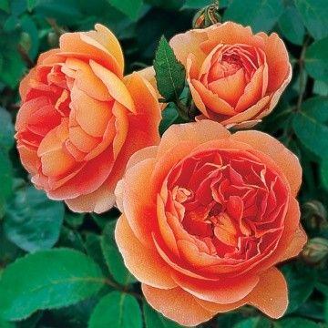 Pat Austin . Detta är en ny färgskala för engelska rosor; en kraftig kopparfärg på insidan av kronbladen, medan de yttre får en koppar-gul färg. Blommorna är välformade viklket ger en kraftfull effekt melland e yttre och inre kronbladen. Doften är kraftfull med en teanstrykning med en mjuk bakgrund.