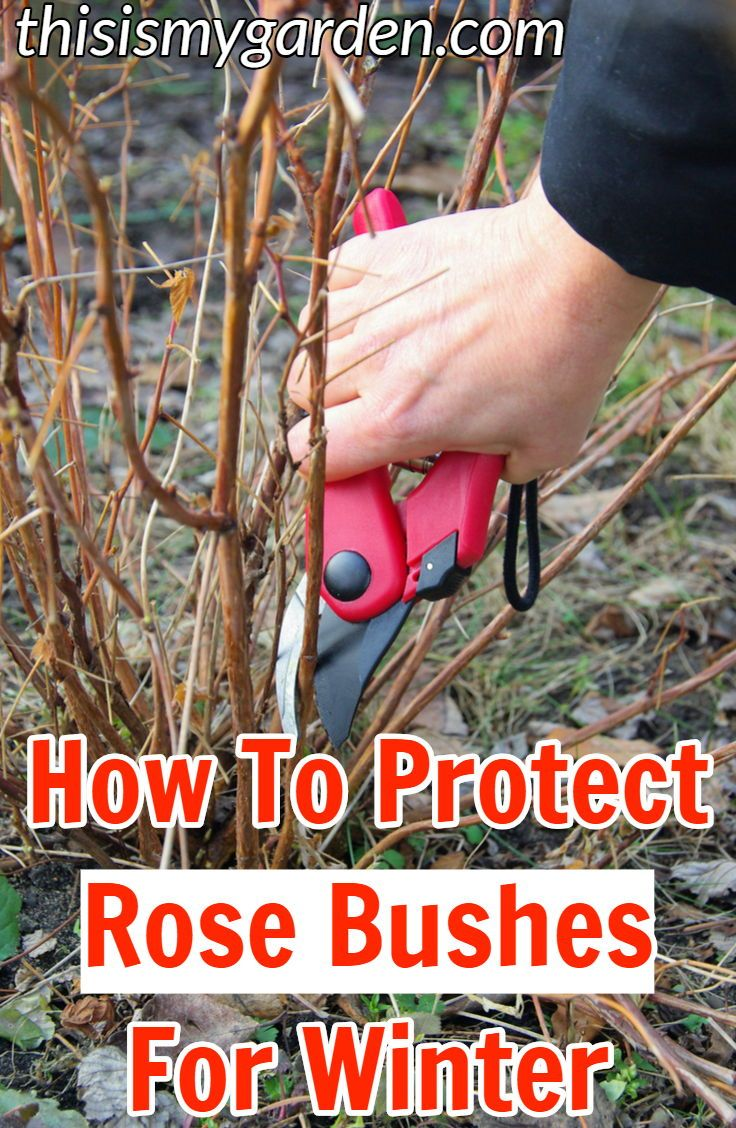 What You Need To Do To Protect Your Rose Bushes For Winter Roses Bush Rosebush Fertilize Prune Protect Rose Bush Planting Rose Bushes Roses Garden Care