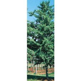 10 Best Tea Olive Tree Images On Pinterest Sweet Olive Tree Fruit
