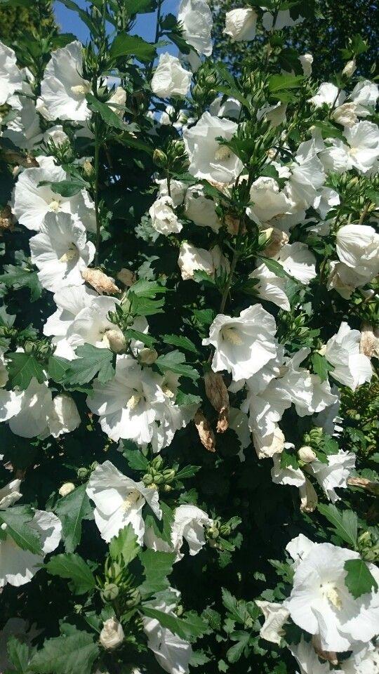 Ketmia flowers