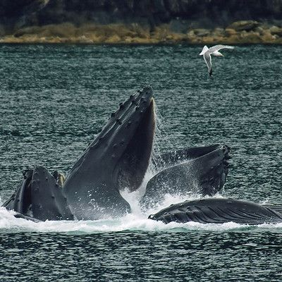 """What is the inventive hunting technique of #humpback whales? Bubble net! A group of #whales swims in a shrinking circle blowing bubbles below a school of prey. Forage fish show a strong fear of bubbles and can be easily contained within a bubble curtain. The shrinking ring of bubbles encircles the school and confines it in an ever-smaller cylinder. The whales then suddenly swim upward through the """"net"""", mouths agape, swallowing thousands of fish in one gulp."""