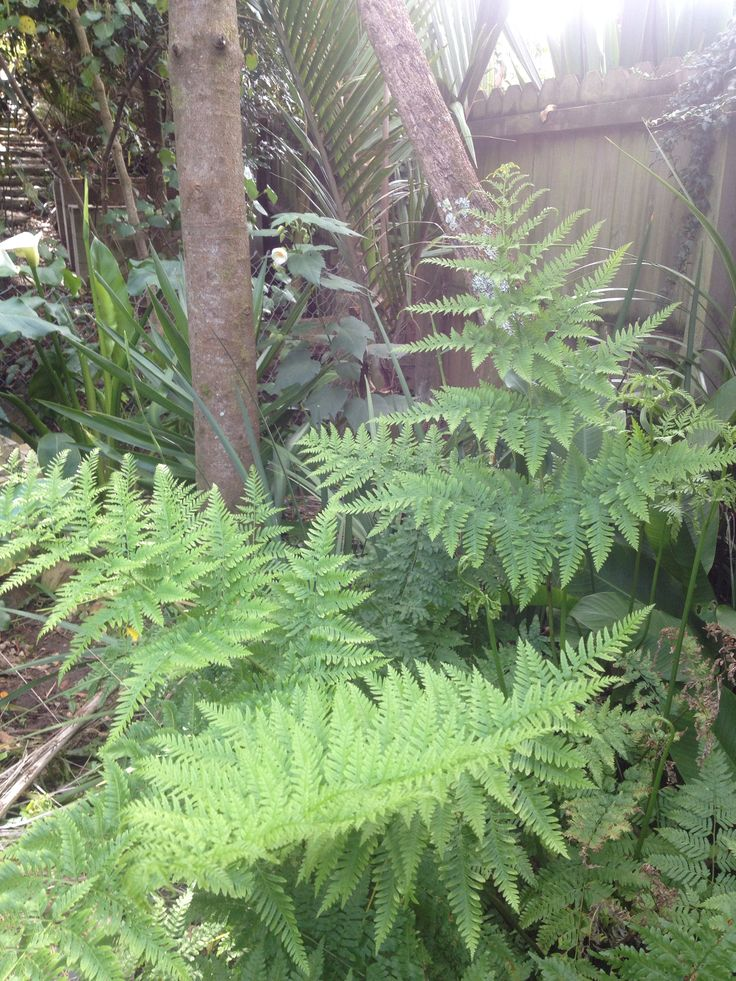 Shade loving Hen and Chickens ferns.  www.tuihousehealing.co.nz