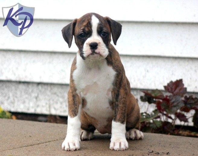 Barbie – Boxer Puppy www.keystonepuppies.com  #keystonepuppies  #boxerpuppy
