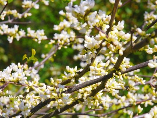 Cercis canadensis 'Royal White'   (Eastern Redbud) - Rare and free flowering selection, Cercis canadensis 'Royal White' has flurries of pure white, pea-like flowers on the bare stems before the leaves emerges in spring.