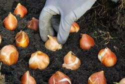 Planting Bulbs in Different Weather Conditions  http://mrlandscaper.ca/planting-bulbs-in-different-weather-conditions/