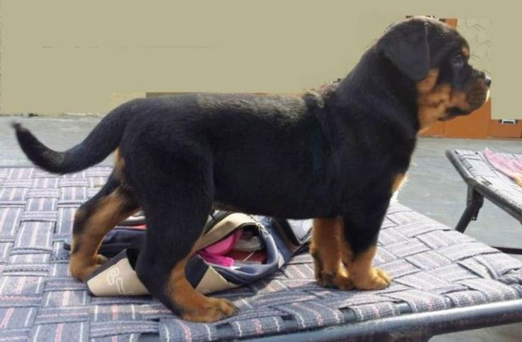 Big Head Rottweiler | Big head and huge size rottweiler puppies for sale with