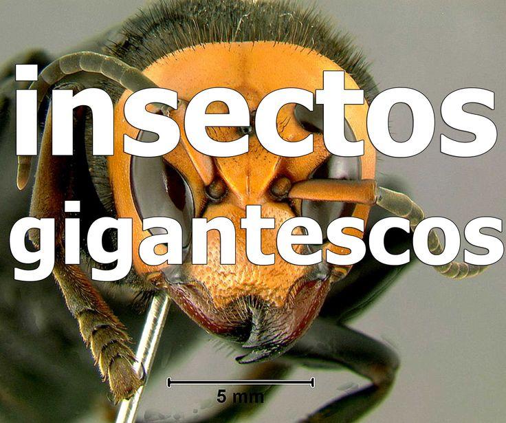 Los insectos más gigantescos e impresionantes. https://www.youtube.com/c/5topinfo SUSCRIBETE EN GOOGLE+: http://goo.gl/5uDqDC SUSCRIBETE EN TWITTER : https://twitter.com/5topinfo LIKE EN FACEBOOK : https://www.facebook.com/5topinfo PAGINA WEB : http://5top.info