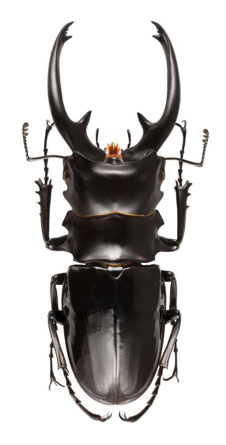 Odontolabis intermedia