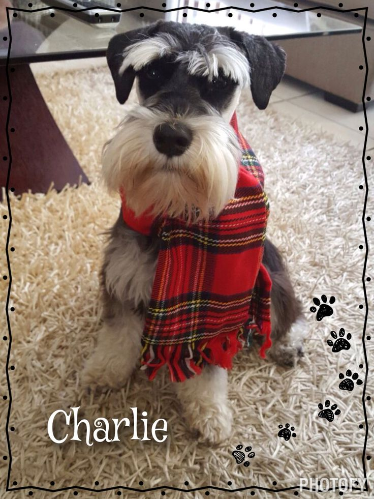 17 Best Images About I Love Schnauzers On Pinterest