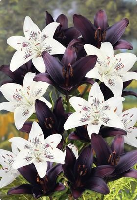tuxedo lily blend....asiatic lily