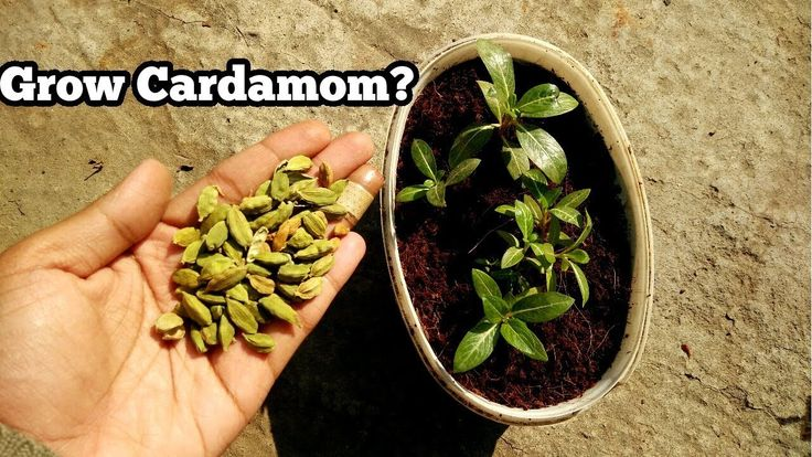GROW CARDAMOM PLANT FROM SEEDS? (WITH RESULT) || WILL KITCHEN SEEDS GROW? - YouTube