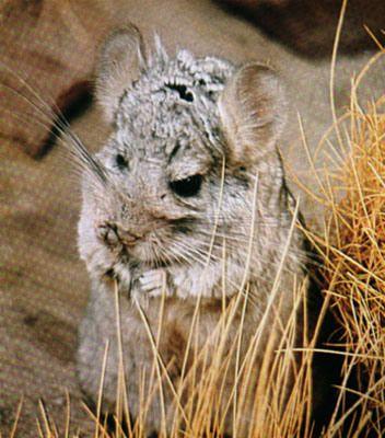 chinchilla cordillerana, es un pequeño roedor que habita en Los Andes de Chile.