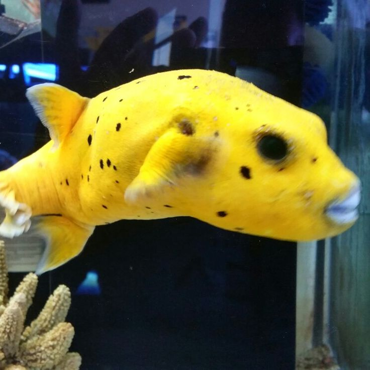 Green Spotted Puffer Fish PetHelpful