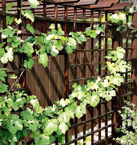 Посадка винограда около забора