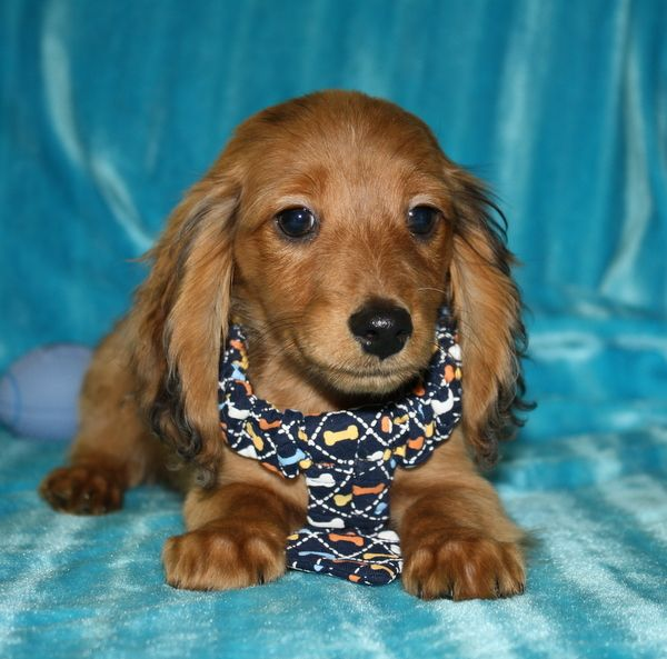Dachshund Breeders NC Dachshund Breeder NC North Carolina English Cream Dachshunds for Sale