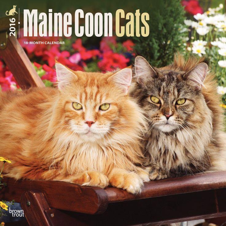 maine coon cats calendar 2016