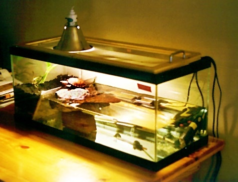 Great red eared slider tank
