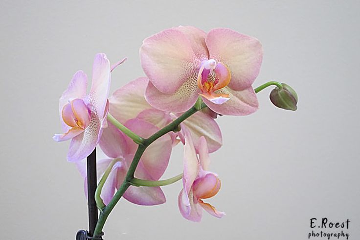 Orchid by Erna R. - Photo 226288107 / 500px