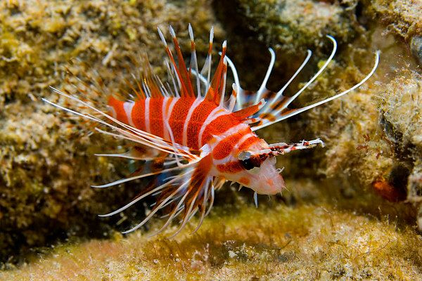 40 best images about kauai fish that i saw on pinterest for Tropic fish hawaii