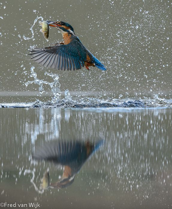 Kingfisher in action.