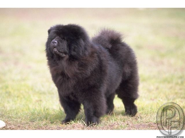 Chao Chao Dog Breed For Sale Before Getting The Chao Chao Know