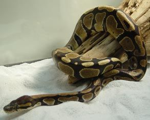 Captive Care of the Ball or Royal Python, Python regius - Part 1