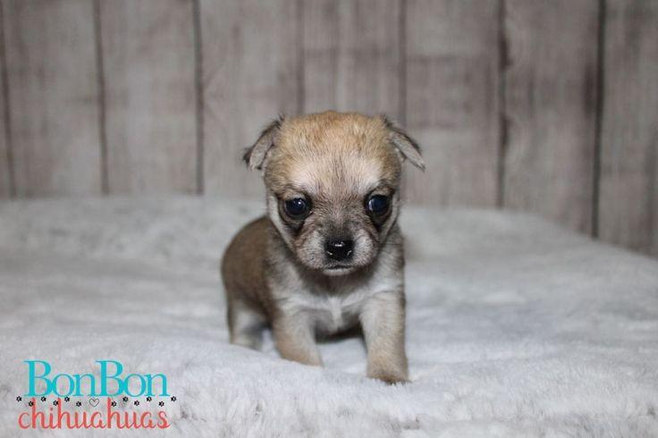 Chihuahua puppies for sale bonbon chihuahuas chihuahua