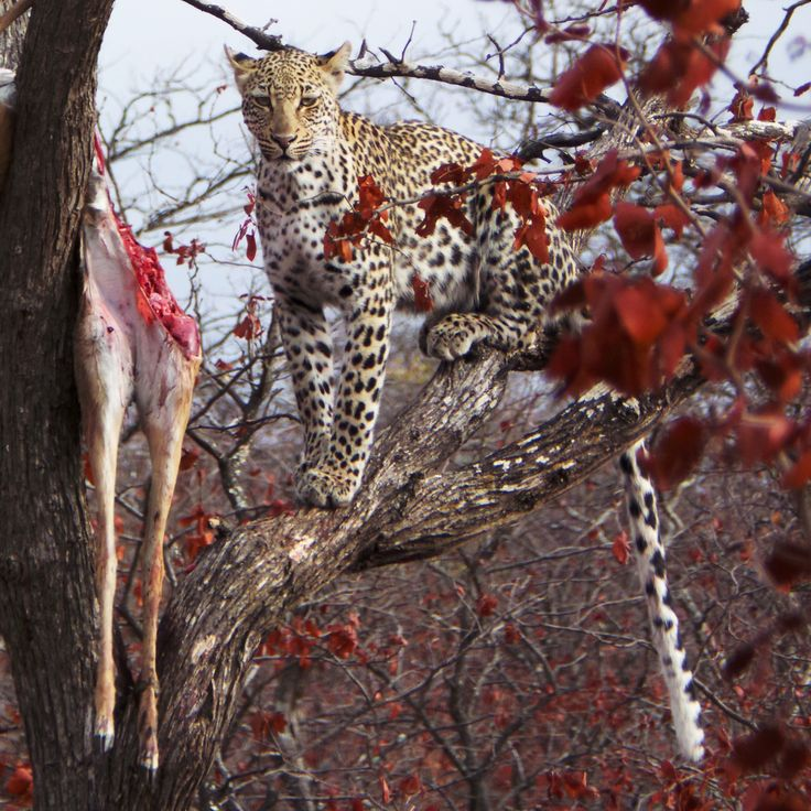 One of my favorite big cats during breakfast. Spotted with ZaZoe guests in Kruger Park, South Africa