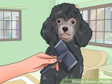 How to Groom a Poodle (with Pictures) - wikiHow