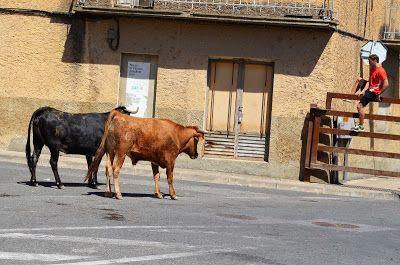 Santacara: Vacas de Vicente Domínguez - Año 2016 (6)
