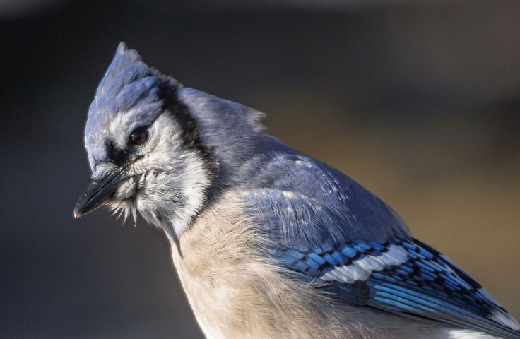 "Blue jays are natural forest dwellers, but they are also highly adaptable and intelligent birds. They are a familiar and noisy presence around many North American bird feeders. The blue jay's ""Jay! Jay!"" call is only one of a wide variety of sounds the bird employs—including excellent imitations of several hawk calls."