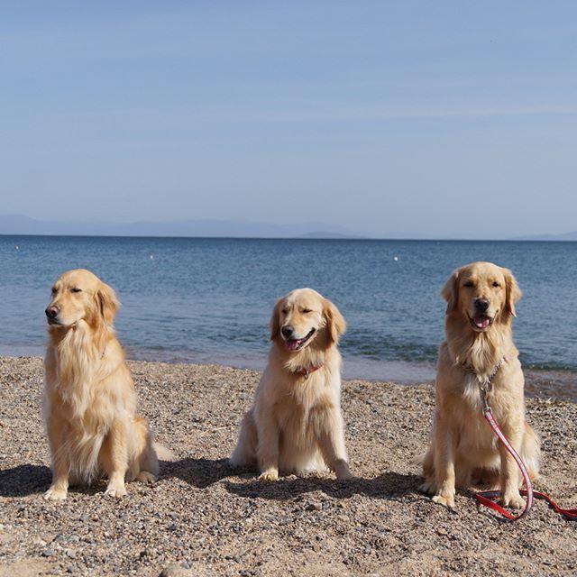 Kiina&Cocoa&Cherry * #ilovegolden_retrievers #pets_perfection #my_loving_pet #dogs_of_instagram #golden_retrieverlovers #pupdoggydog #meowvswoof #bestwoof #dog_features #dogsofinstagram #ilovemydog #puppytales #instagramdogs #dogstagram #nature_cuties #FurrendsUpClose #goldens_ofinstagram #igclub_dogs #gloriousgoldens #instadog #goldenretriever #puppytrip #retrieversgram #welovegoldens #Excellent_Dogs #amazing_picturez_animals #lillyspicoftheweek #cutepetclub #bestfriends_dogs…