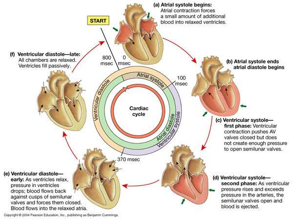 Systole Diastole Nursing Pinterest Heart And Chemistry