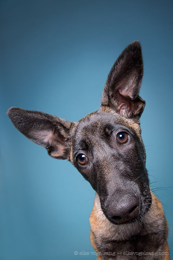 Malinois puppy by Elke Vogelsang - Photo 151999599 - 500px