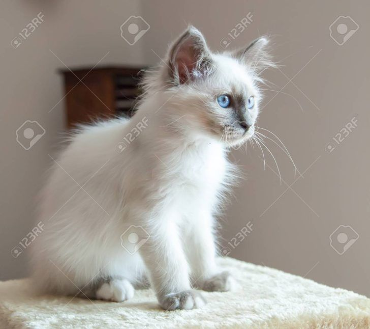 Animal Birman Portrait Of White Long Hair Birman Cat With Blue Eyes Cream Point Tabby Siamese Lilac Cute Seal Black Newborn Himalayan Tortie Snowshoe Red Ragdol