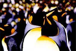 Kerguelen penguins