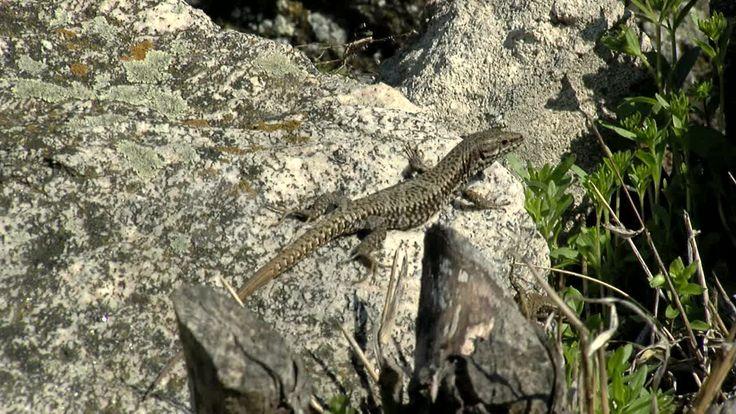 $18 Lizard - Stock Footage |