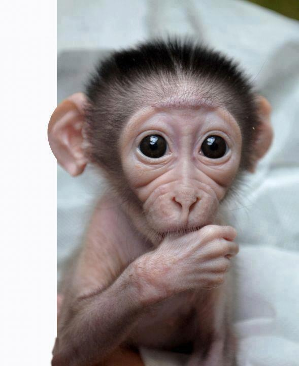 Best 21 b b singe images on pinterest b b s animaux - Petit singe rigolo ...