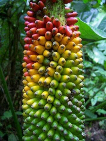 Bananas in Suriname