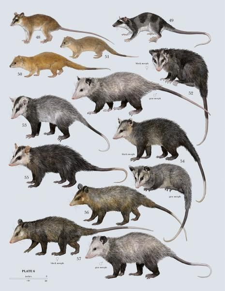 Family Didelphidae (Opossums)
