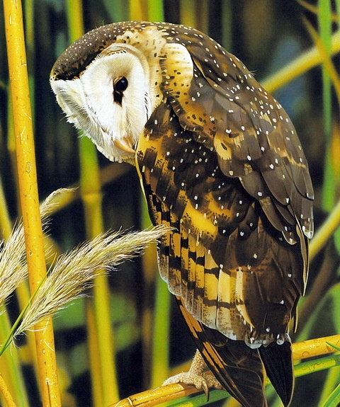 Eastern Grass-Owl,  found in northeastern Australia, parts of New Guinea & western Pacific, southeast Asia & India. Habitat is tall grasslands & swamps. (Tyto longimembris)