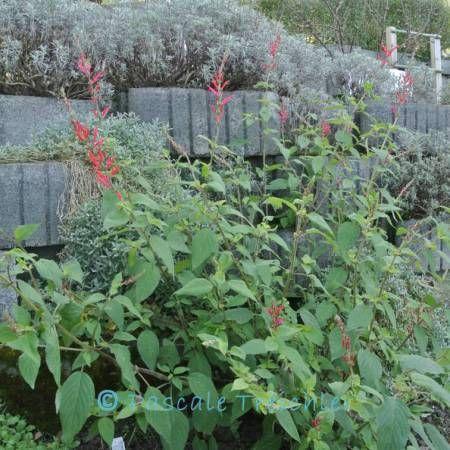 Essbare Blüten: Ananassalbei