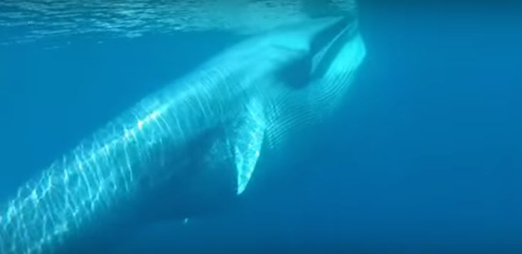 Very little is known about the whale species that was only discovered in 2003.