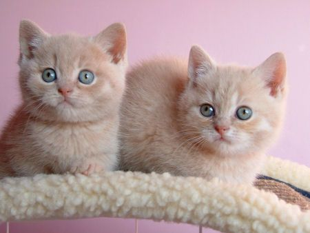 widdle bwidish showthair kittens...aww