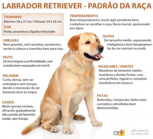 Padrão da raça Labrador Retriever