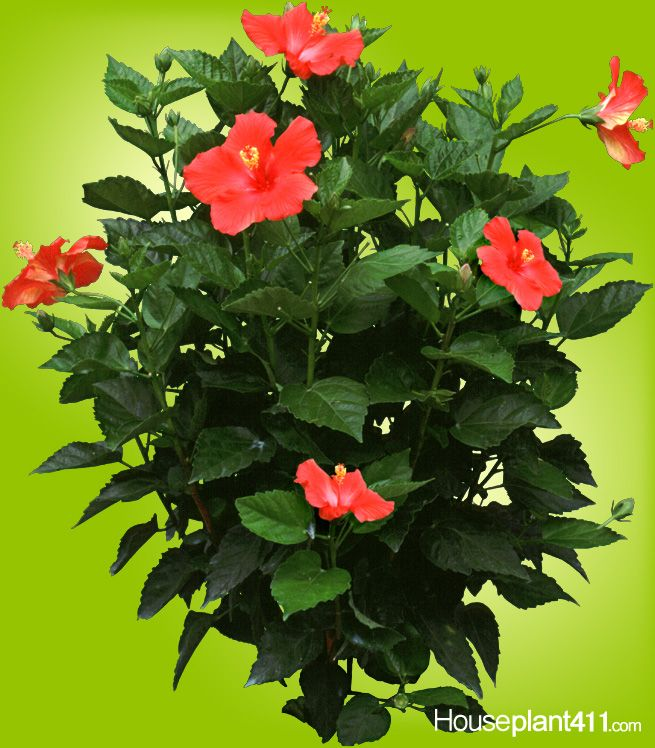 Flowers Grown In Winter: Many Varieties Of Hibisus Plants Grow Well Indoors For The